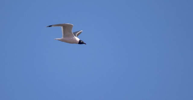 Franklin's Gull April 14, 2014