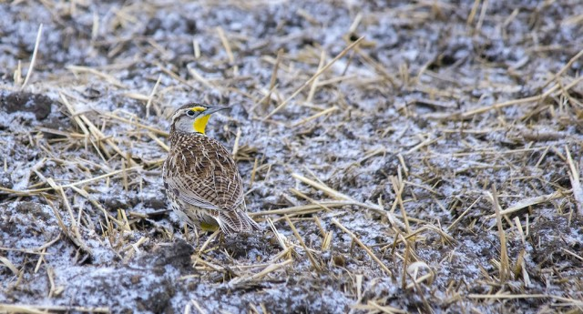 Western Meadowlark April 3, 2014
