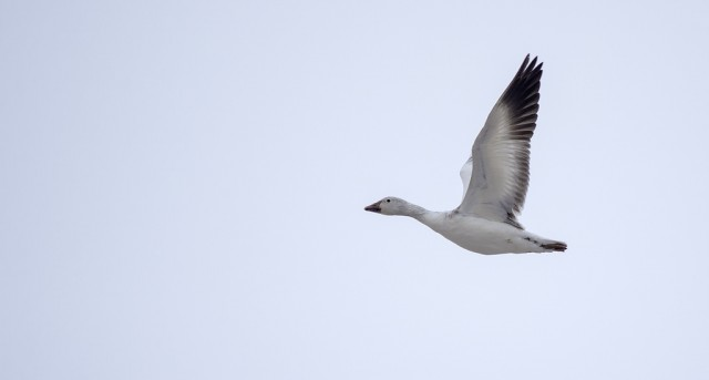 Snow Goose in flight March 22, 2014