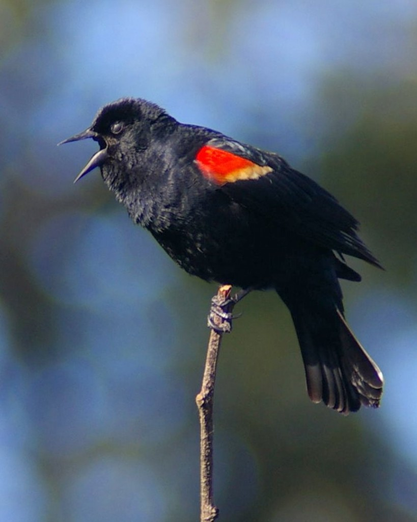 Red-winged Blackbird singing and displaying epaulet. Photo by Garry Davey.