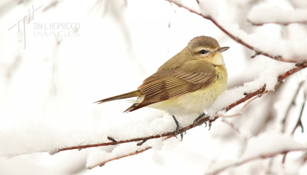 A Warbling Vireo in a snow-laden tree...not something I've seen before!
