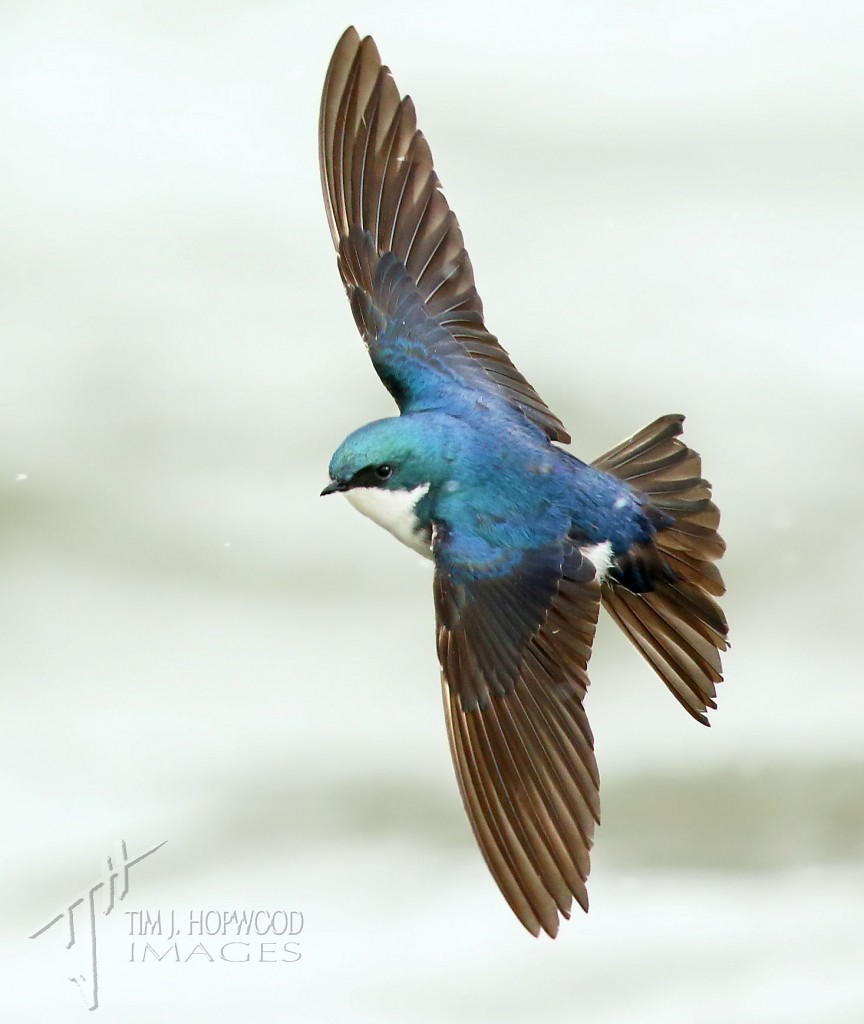 Tree Swallow - I like the way he is looking at the viewer.