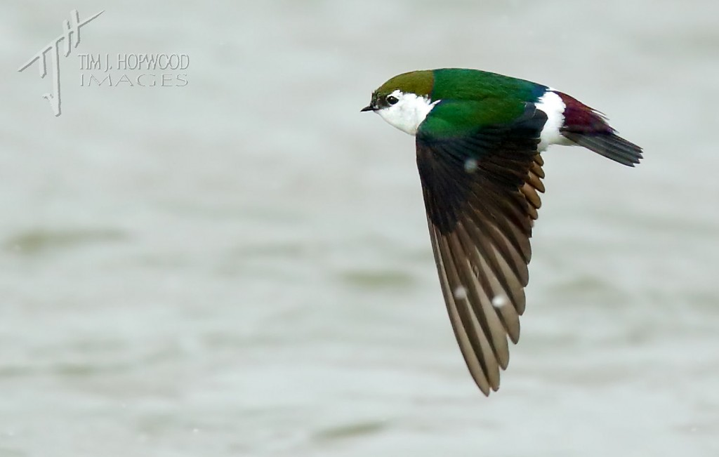 Violet-green Swallow...those whit smudge spots on the wing are falling snow flakes!