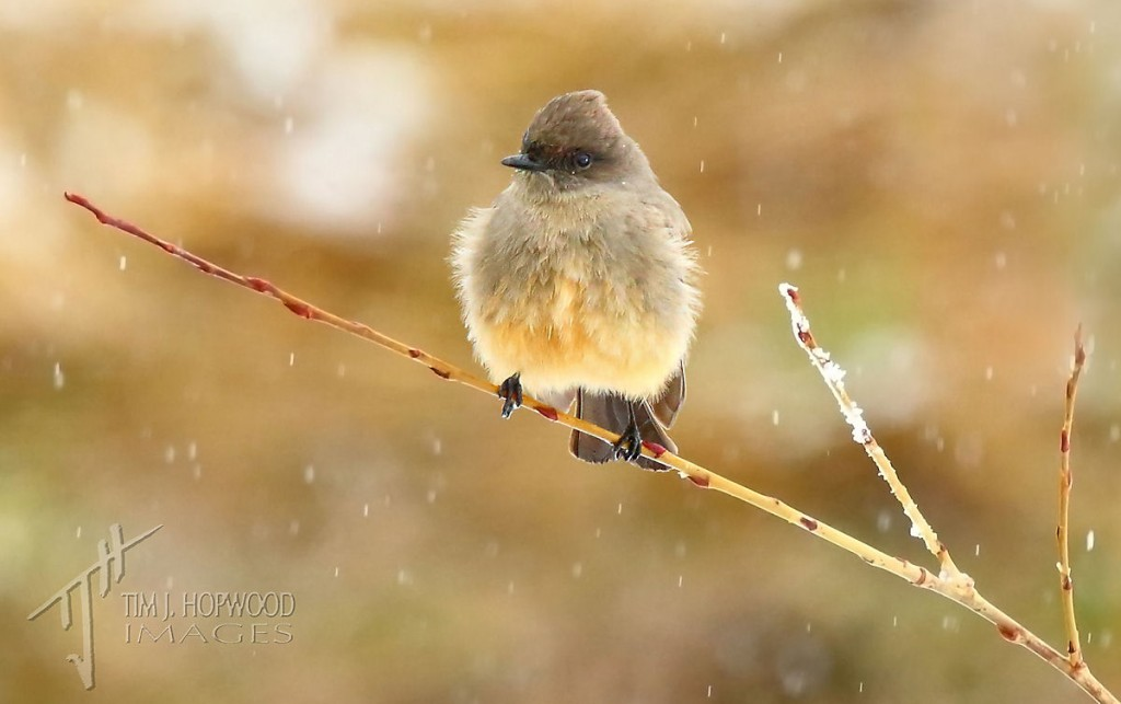 Say's Phoebe - looking unimpressed by the snowfall.