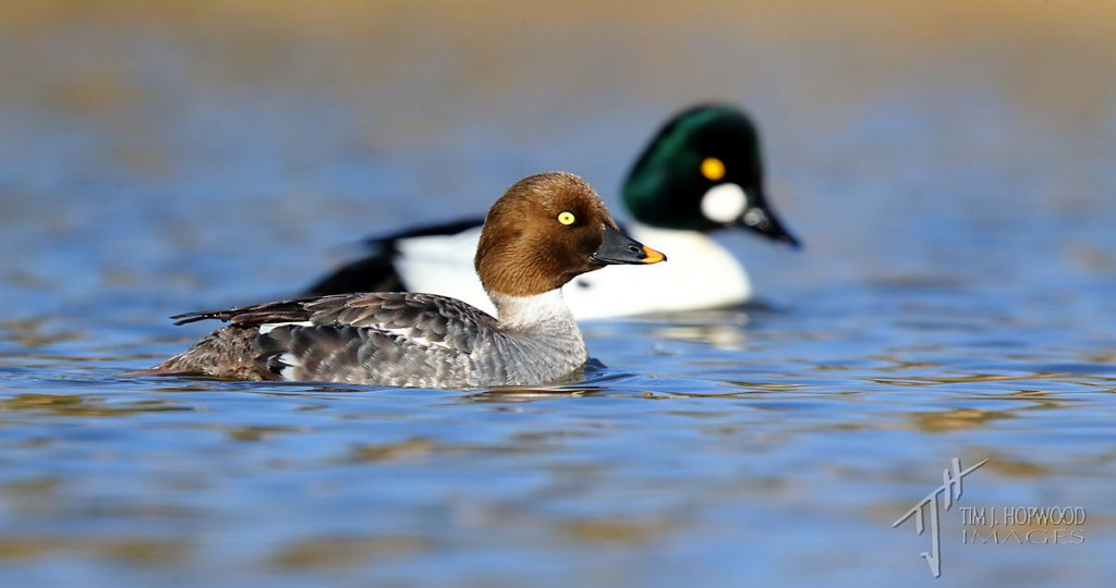 A Common Goldeneye couple.