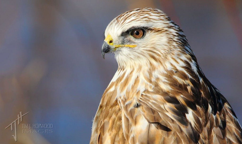 Rough-legged Hawk - probably one of my favourite raptor portraits I've taken.