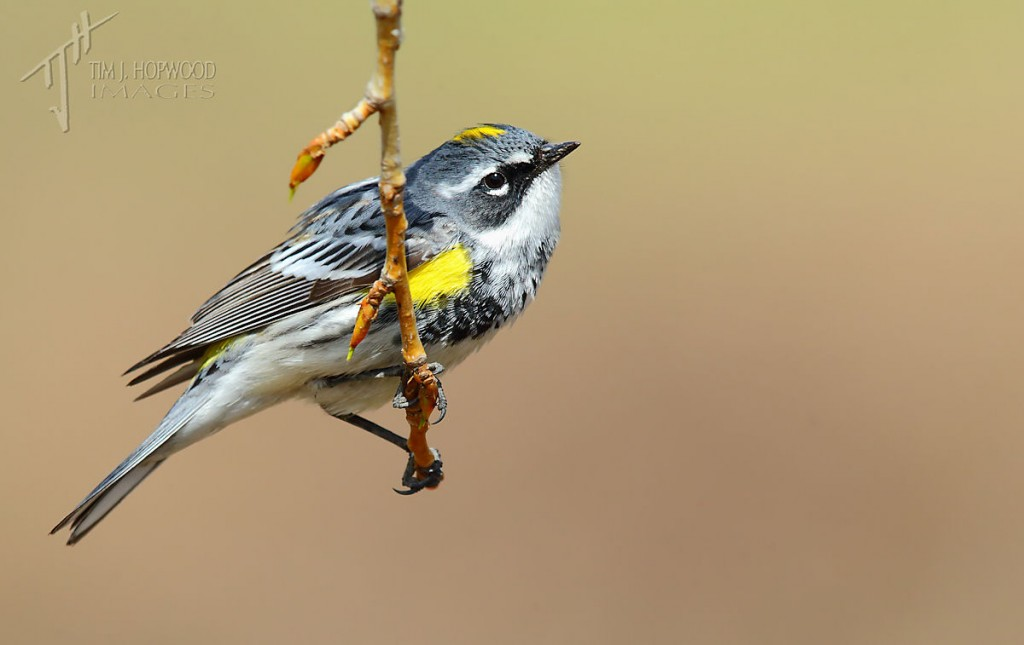 Yellow-rumped Warbler hanging out.