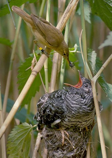 "Reed warbler feeding cuckoo, another ""brood parasite"". (CC license. Image by Harald Olsen.)"