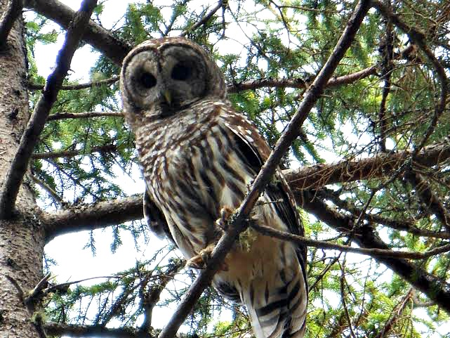 barred owl nova scotia