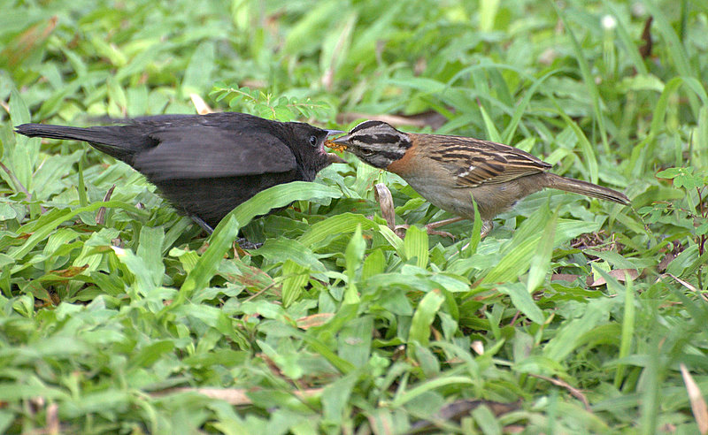 Shiny Cowbird being fed by Rufous-collared Sparrow. (CC license. Image by Dario Sanches.)