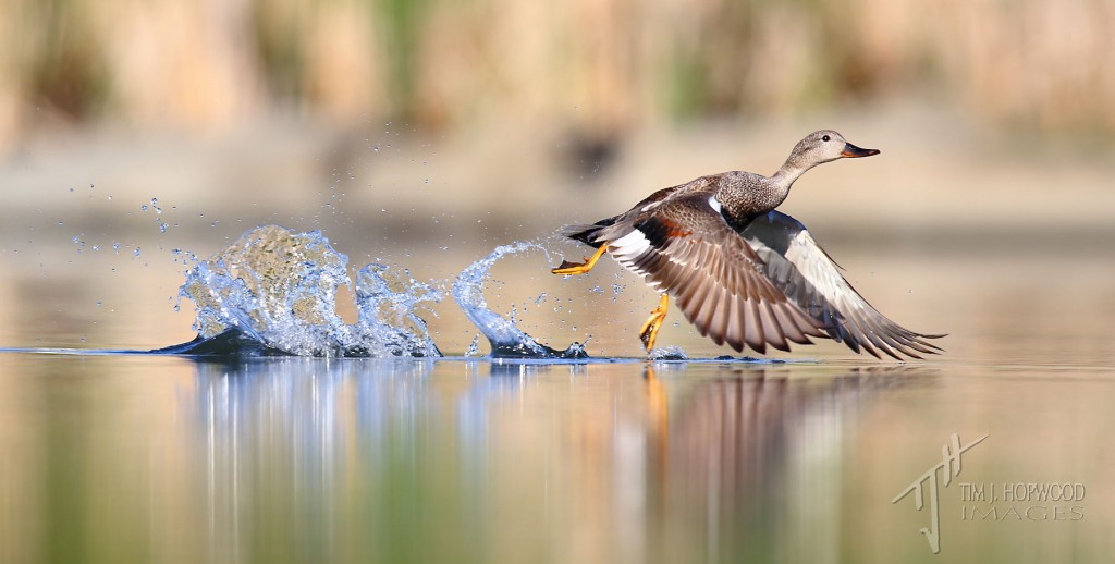 Gadwall taking off from a glass-like pond surface...