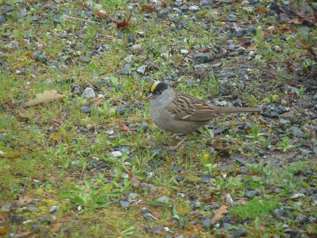 Golden-crowned Sparrow on lawn. Good camouflage, eh?