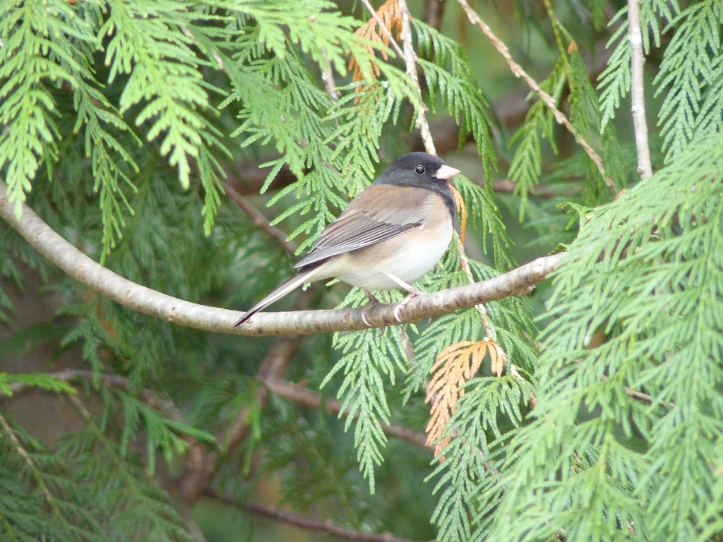 Dark-eyed Junco in cedar tree