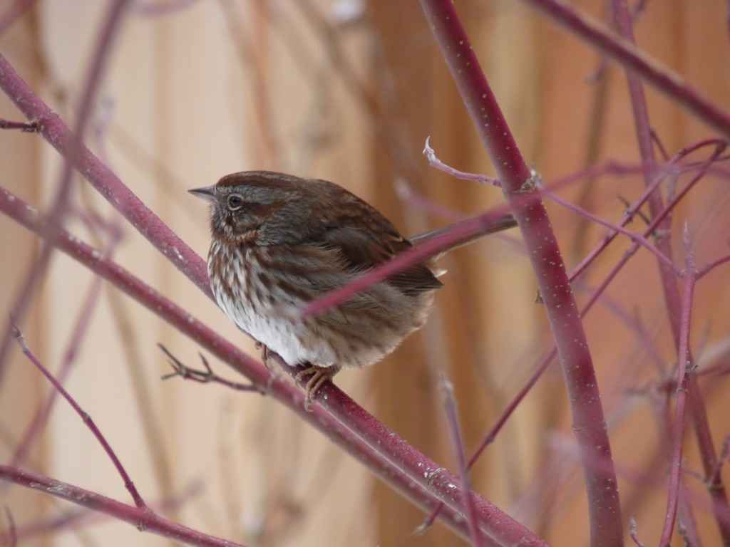 Song Sparrow in the dogwood bush