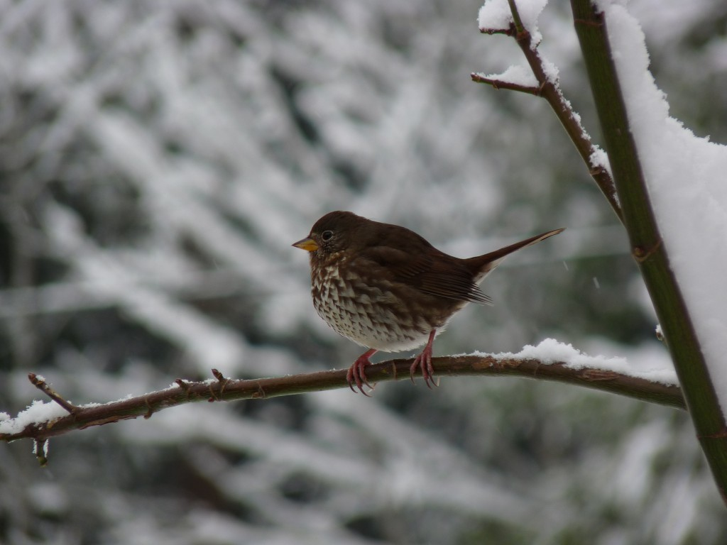 West coast Fox Sparrow in winter. Note the yellow mandible.