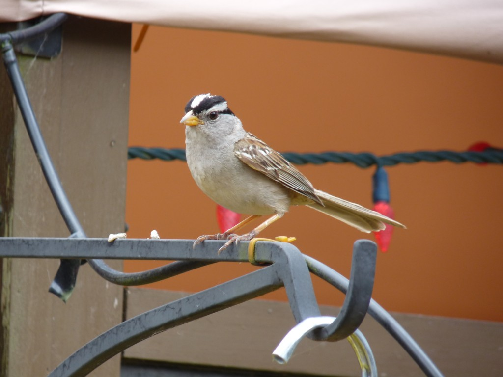 White-crowned Sparrow. These birds nest in our village shopping centre every spring.