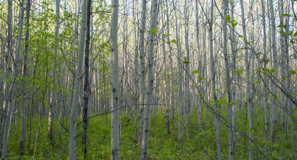 A dense aspen stand, good for Mourning Warblers!
