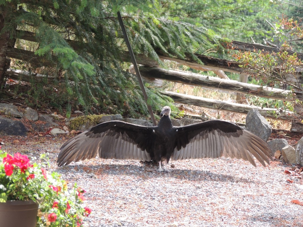 Vulture sunning itself in the garden. Photo by Carol Baird-Krul.