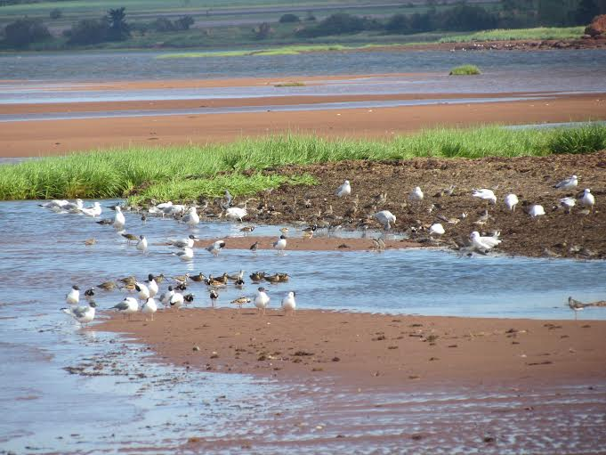 shorebirds and gulls