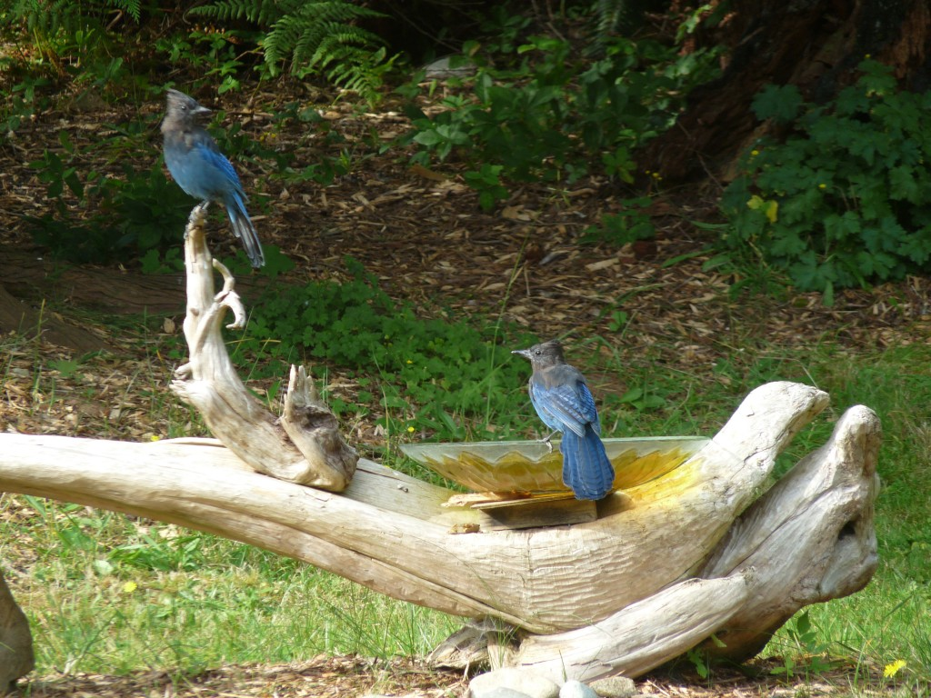 Steller's Jays at favourite bird bath.