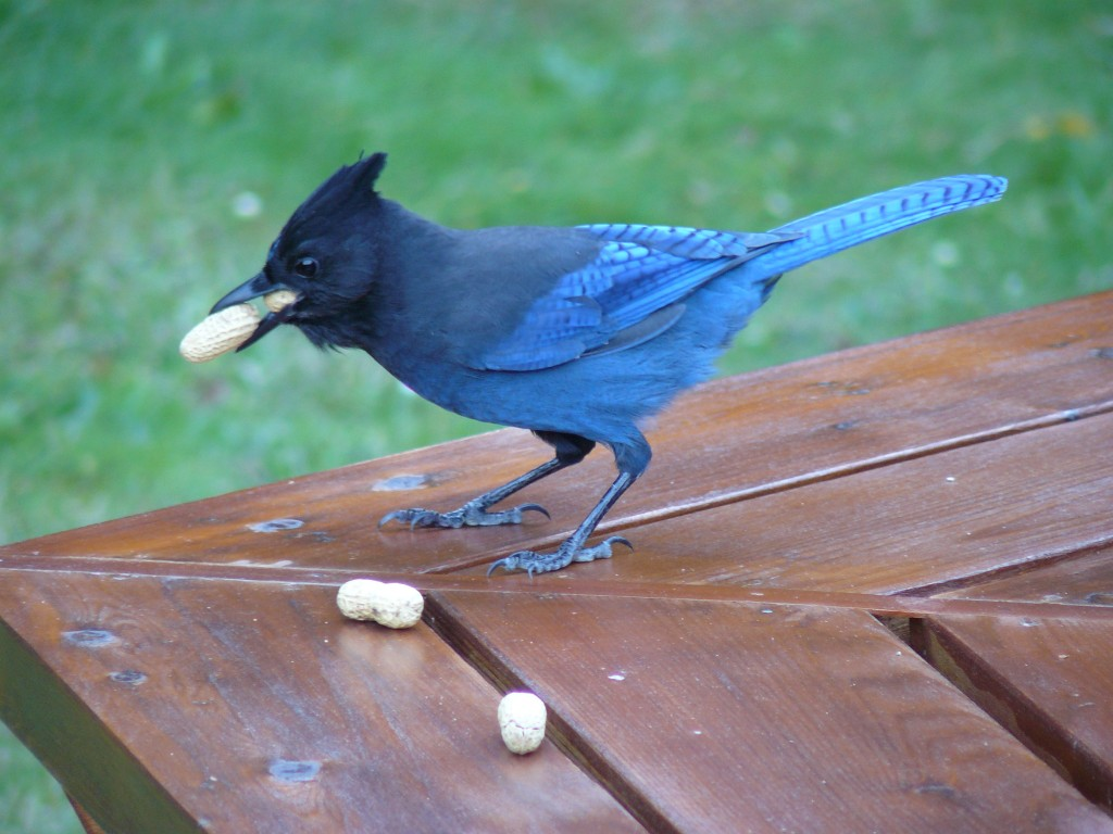 One jay, one mouth, two peanuts.