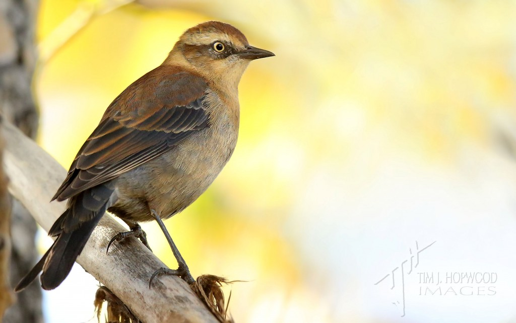 A Rusty Blackbird in its striking fall plumage