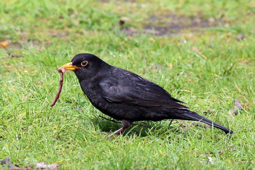 Common Blackbird, in Warwick Square, London, England. Photo by Charles Sharp. CC license.
