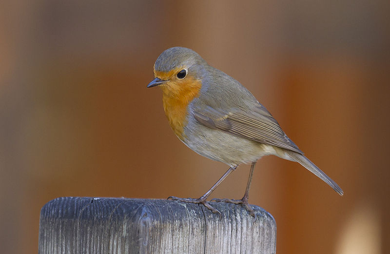 European Robin. Photo by Pierre Selim. CC license.