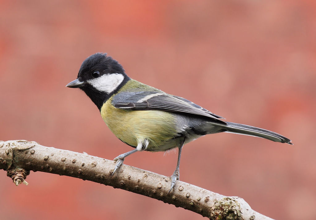 Great Tit. Photo by Francis C. Franklin. CC license.