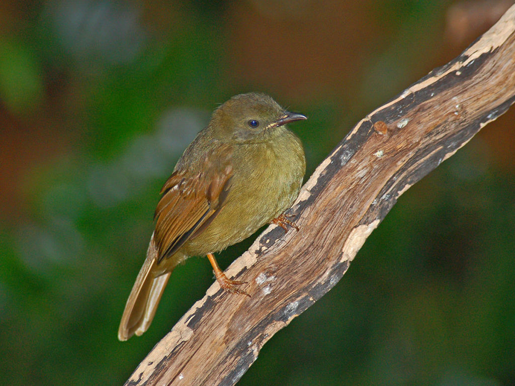 Little Greenbul. Photo by  Hechtonicus. CC license.