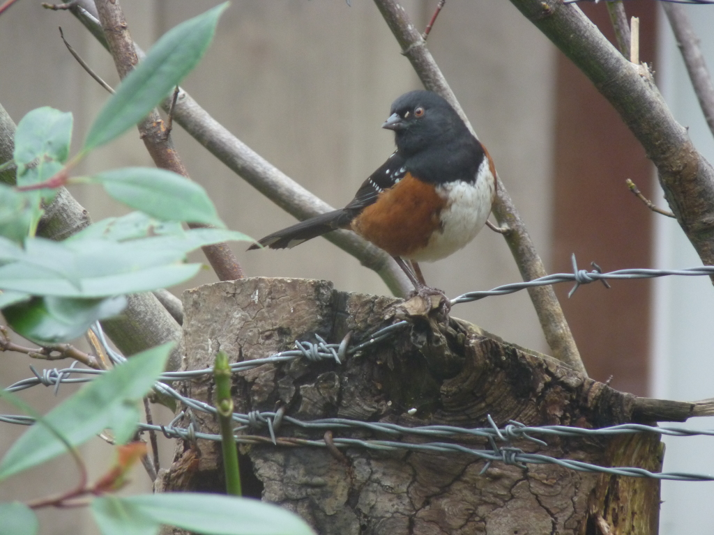 Spotted Towhee on tree stump, not squawking ... for the moment.