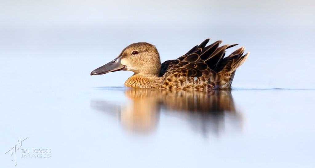 Shooting at ground level also works great for ducks, such as this young Northern Shoveller.