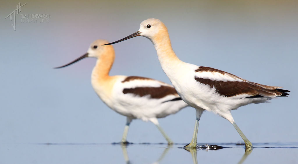 American Avocets sweep across the shoreline.