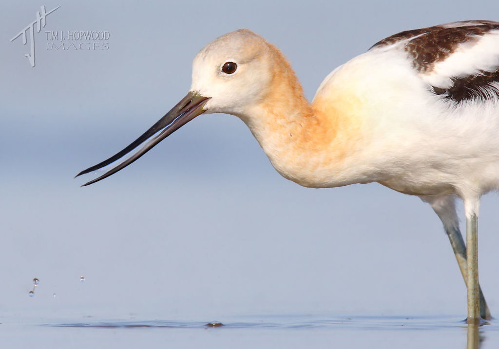 American Avocet - up close and personal.
