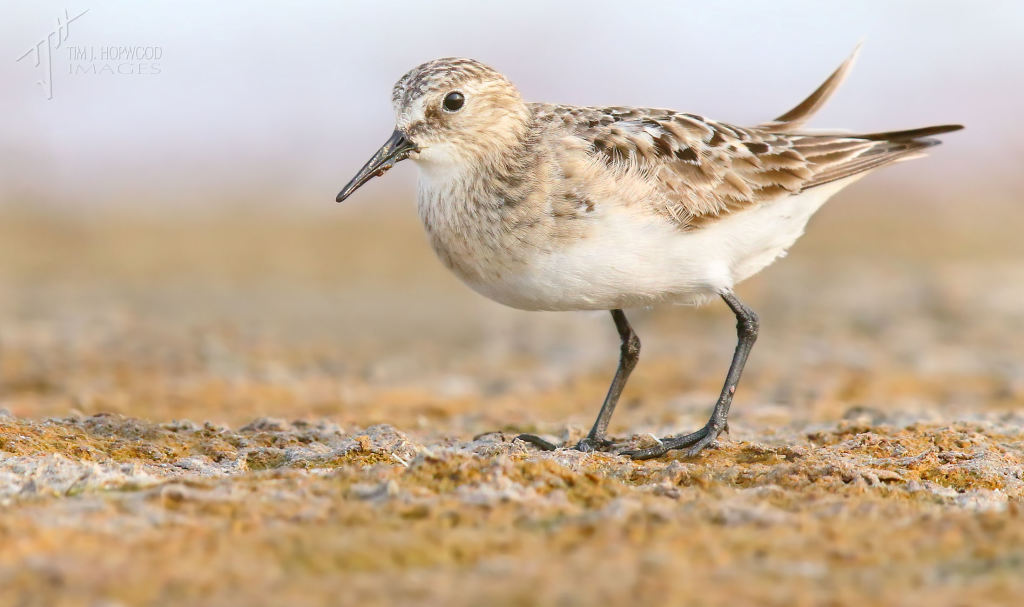 A Baird's Sandpiper - another lifebird. And I used to think all peeps looked the same...shame on me :)