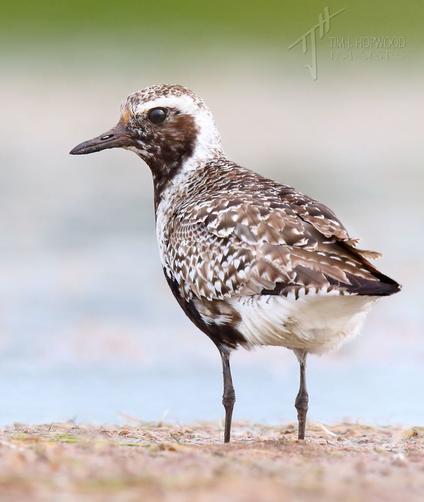 A Black-bellied Plover keeps a close eye on things.