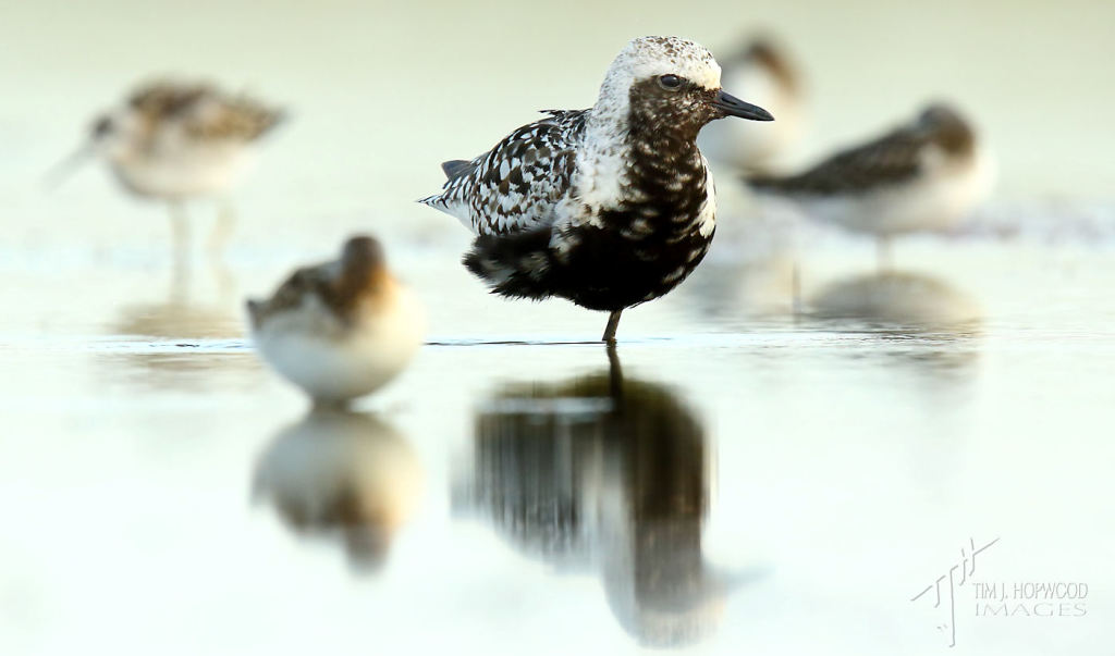 A Black-bellied Plover at rest amongst a flock of phalaropes.
