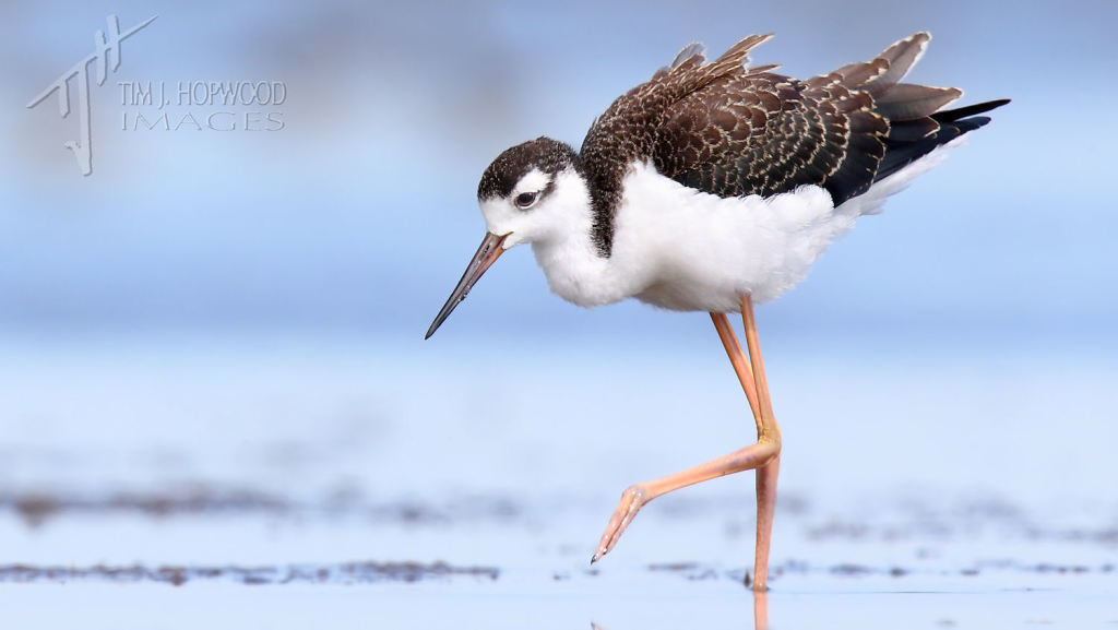An immature Black-necked Stilt.