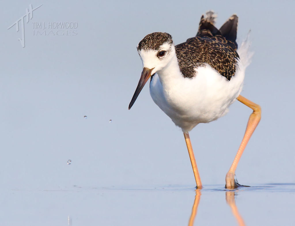 An immature Black-necked Stilt