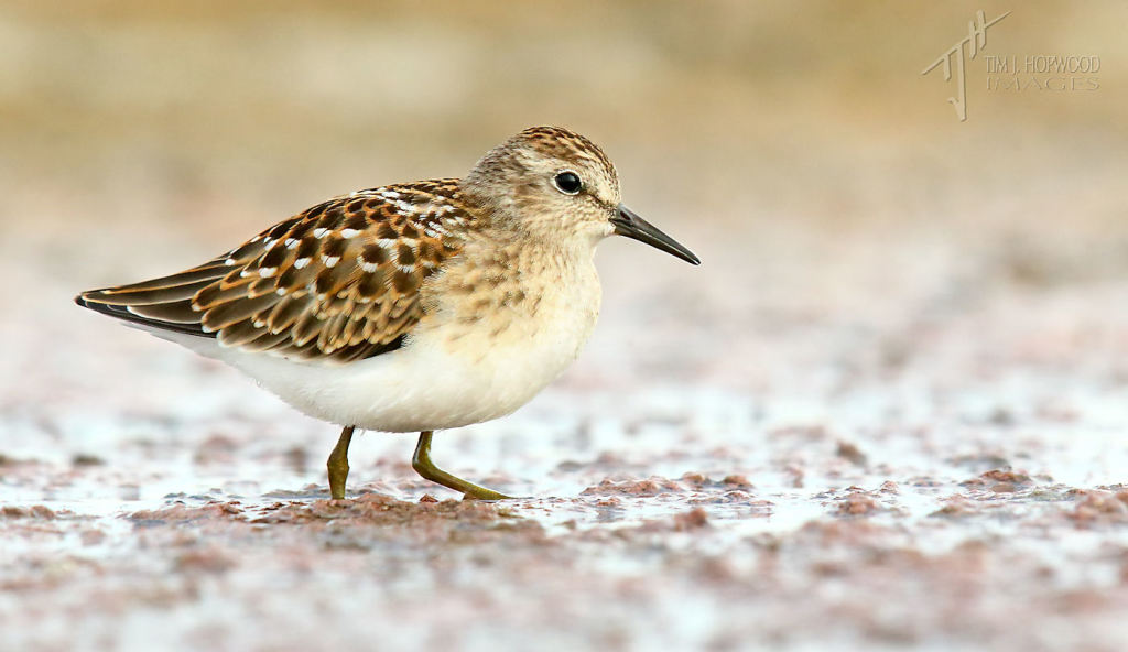 And last but not least, except in name, the cute little Least Sandpiper.