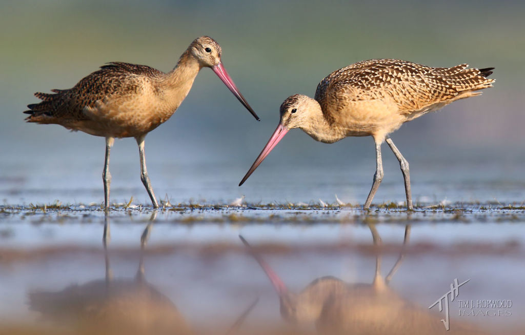 A pair of Marbled Godwits feeding on the mudflats.