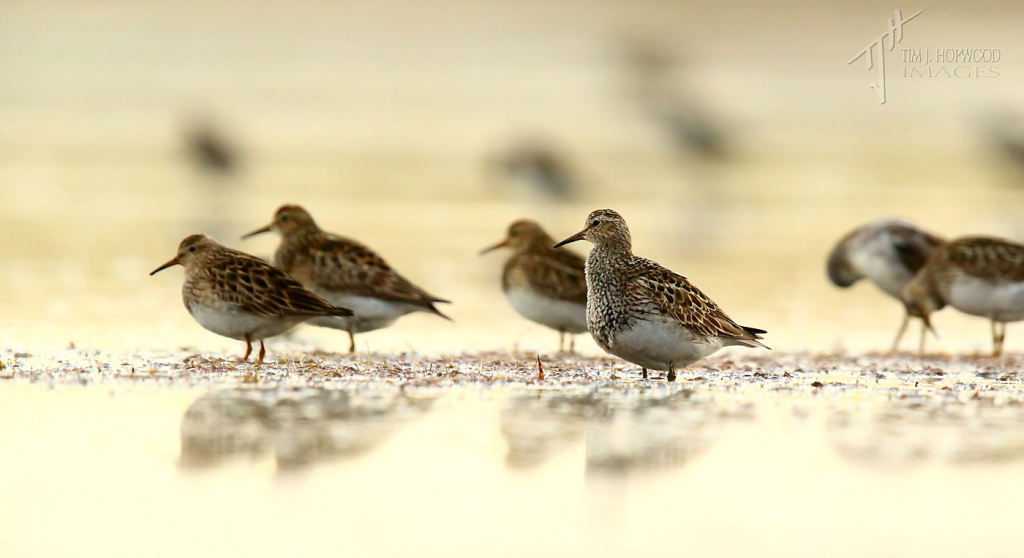Early morning at Weed Lake...waiting, like these Pectoral Sandpipers, for the sun to rise.