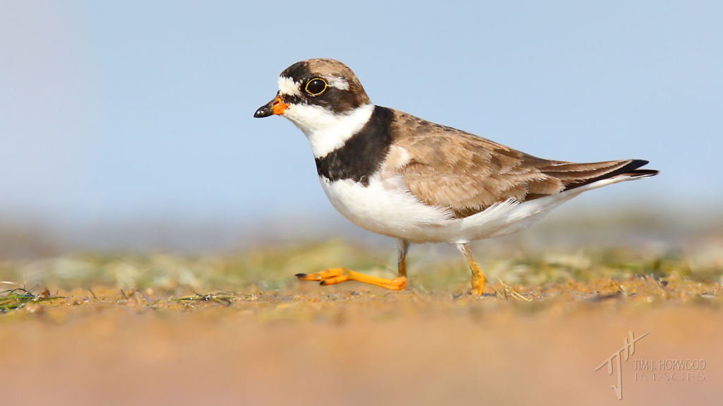 A Semi-palmated Plover sprinting a long the shoreline.