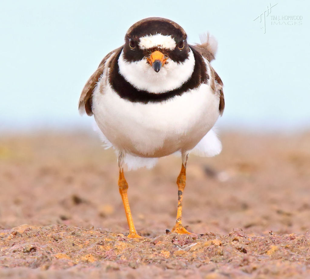 Semi-palmated Plover - I think I may have been spotted!