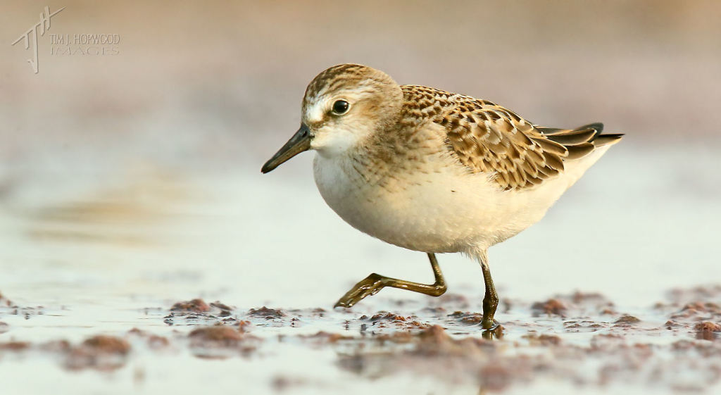 A Semipalmated Sandpiper - a fairly common 'peep', but a lifer for me in 2014