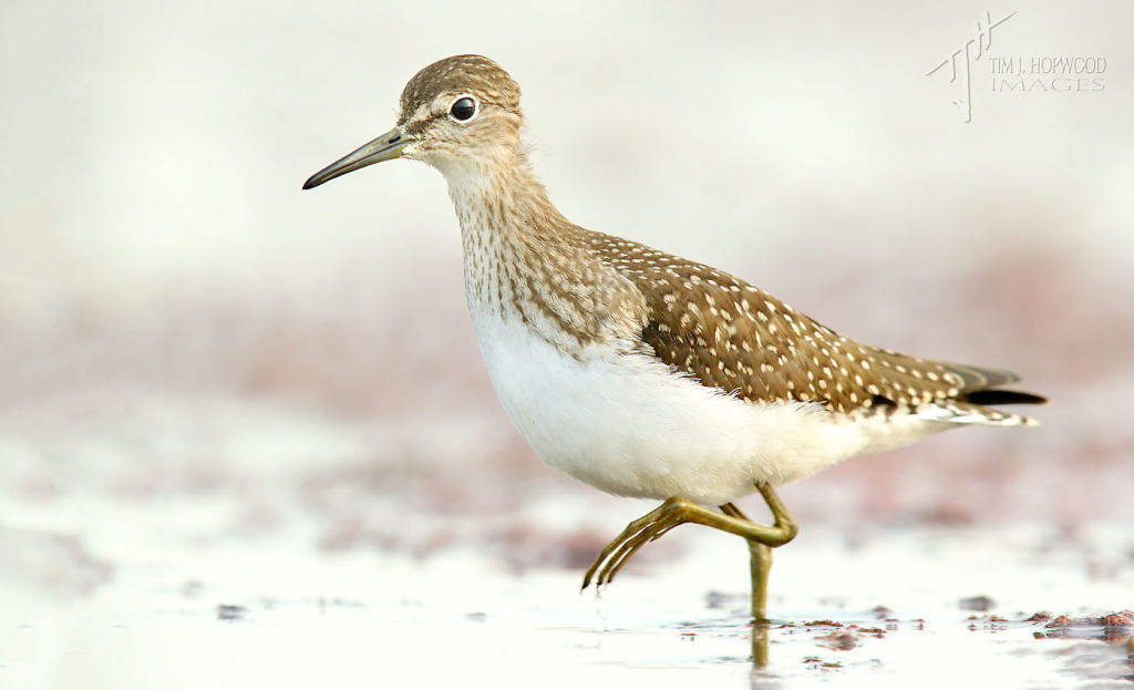 One of a pair of Solitary Sandpipers that fed for a few minutes in front of my position.