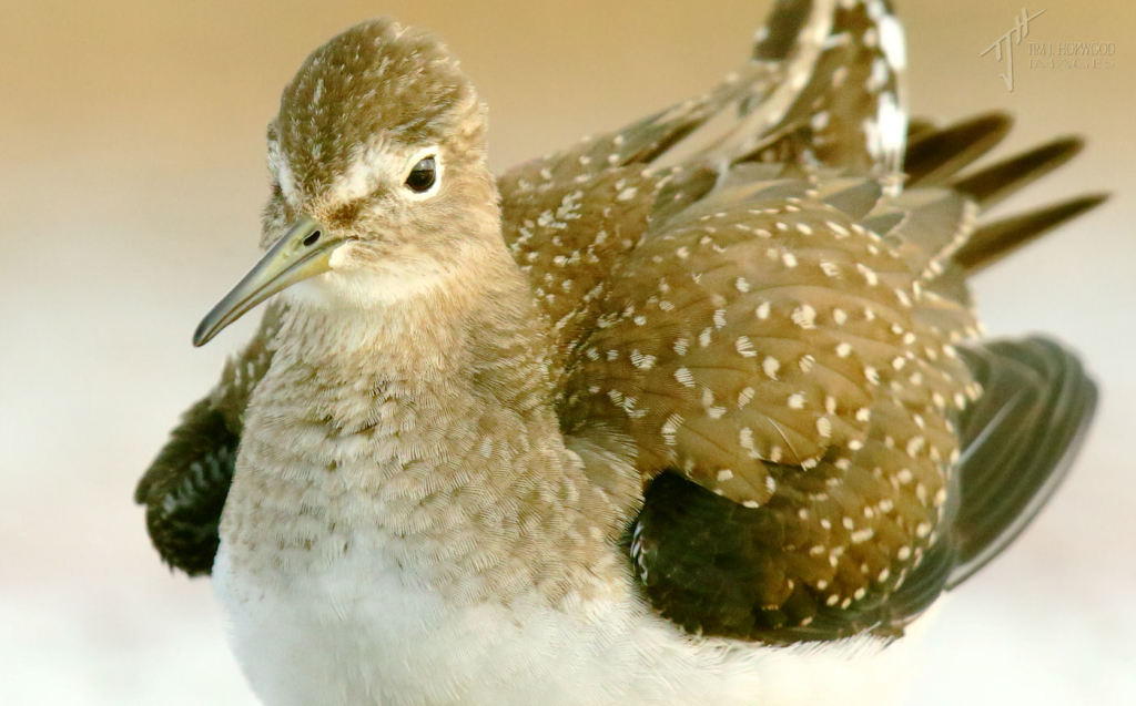 Solitary Sandpiper portrait - on quite a number of occasion the birds came so close I couldn't focus!