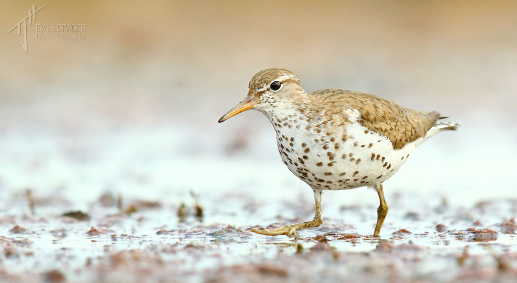 And for comparison, an adult Spotted Sandpiper sprinting toward me.