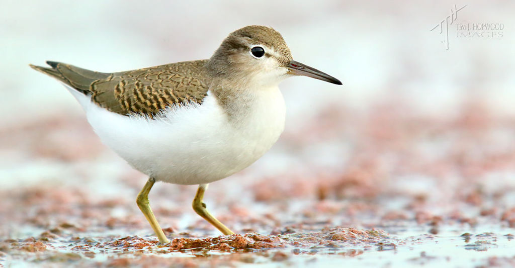 An immature Spotted Sandpiper.