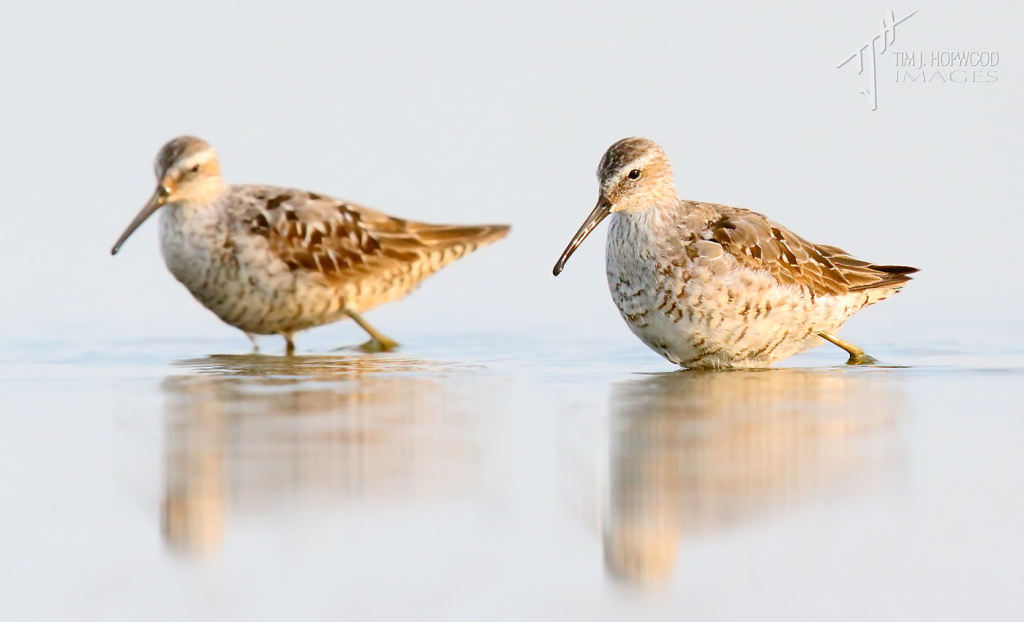 Stilt Sandpipers feeding on a calm morning